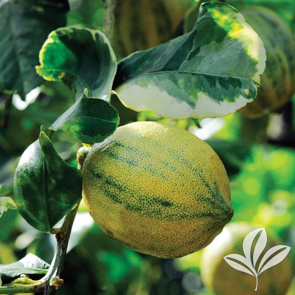 Citrus Citrus Limon Variegated Meyer Variegated Meyer