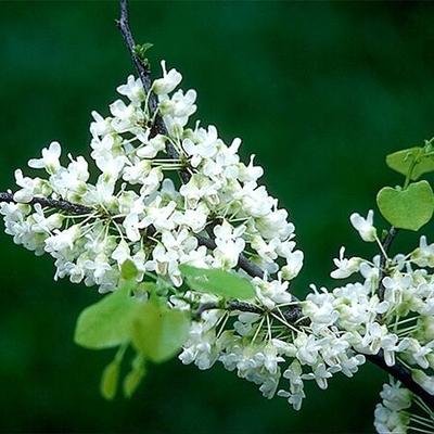 Cercis C Ssp Texensis Oklahoma Whitebud Oklahoma Whitebud From