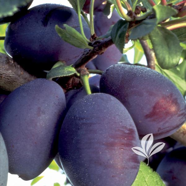 Prunus Prunus Stanley Stanley Plum From Greenleaf Nursery