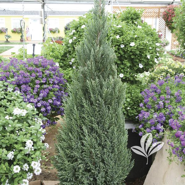 Juniperus chinensis 'Blue Point' HOLIDAY BLUE POINT JUNIPER from