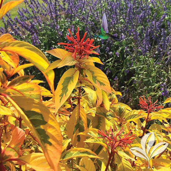 Garden Bush: Hamelia Hamelia Patens 'Grelmsiz' LIME SIZZLER(TM