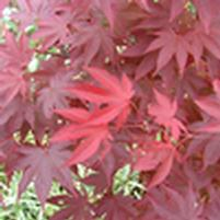 Acer palmatum 'Hefner's Red Select'