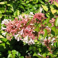 Abelia x 'Canyon Creek'